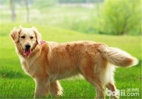犬髋关节发育不良的X线诊断方法-狗狗常见病